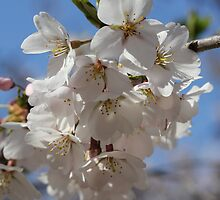 Cherry Tree Blossoms by Sheryl Hopkins