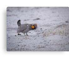 Prairie Chicken 2013-2 Metal Print