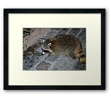 Racoon Framed Print