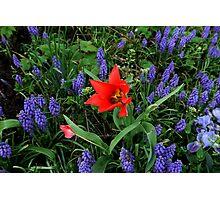 Tulip Amid Hyacinths Photographic Print