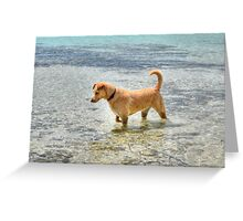 Dog playing in the Caribbean waters at Yamacraw Beach - Nassau, The Bahamas  Greeting Card