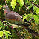 The Kereru in my garden, New Zealand.......! by Roy  Massicks