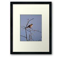 sparrow hawk Framed Print