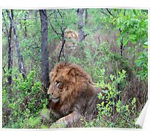 Lions in the bushes Poster