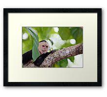 White Faced Capuchin  Framed Print