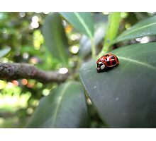 Ladybird on a leaf (2) Photographic Print