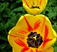 Yellow Tulips by LeJour