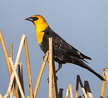Yellow-headed Blackbird (Xanthocephalus xanthocephalus): Fractured Stalks Make Good Perches by John Williams