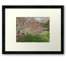 Auckland's winter cherry blossoms Framed Print