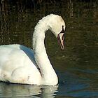...became a beautiful young swan... close-up by steppeland