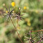 Khaki bush seeds (Black jacks) by Maree Clarkson