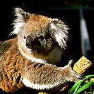 Koala love by Karina  Cooper