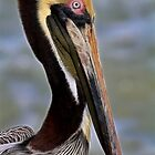 Blue Eyed Pelican by Deborah  Benoit