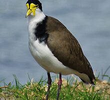 Spur Winged Plover by hurky