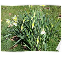 more daffodils Poster
