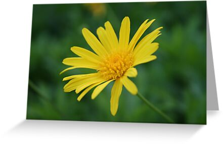 Yellow Daisy Flower by taiche