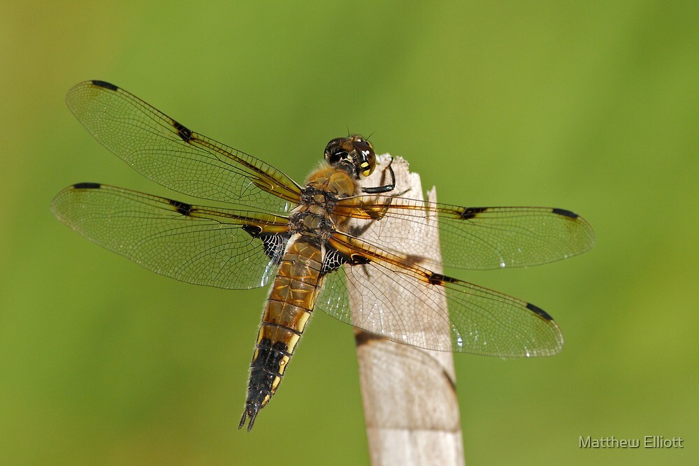 Four-spotted Chaser by Matthew Elliott