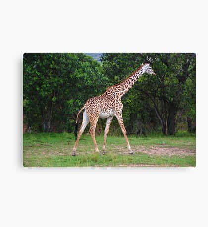 Giraffe - Masai Mara - Kenya Canvas Print