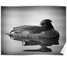 Tufted Duck  Poster