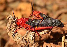 Milkweed Locust (Phymateus morbillosus) by Johanna26