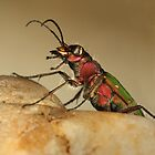 Tiger beetle by jimmy hoffman