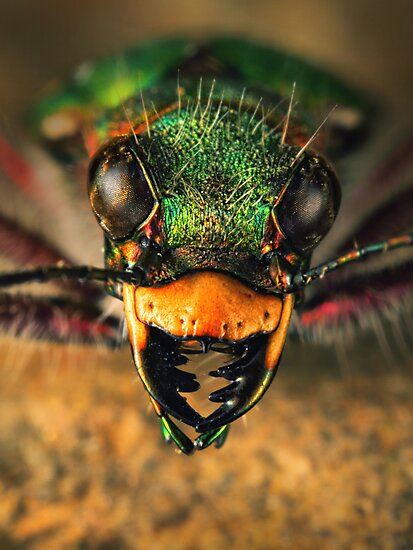 Tiger beetle close-up by jimmy hoffman