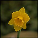 First dafodyl. by naranzaria