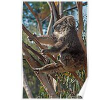 Koala Yoga Poster