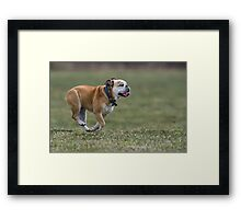 English Bulldog Framed Print