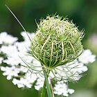 Queen Anne's Lace by Debbie Oppermann