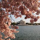 Jefferson Memorial and Cherry Blossoms by Kelly Morris