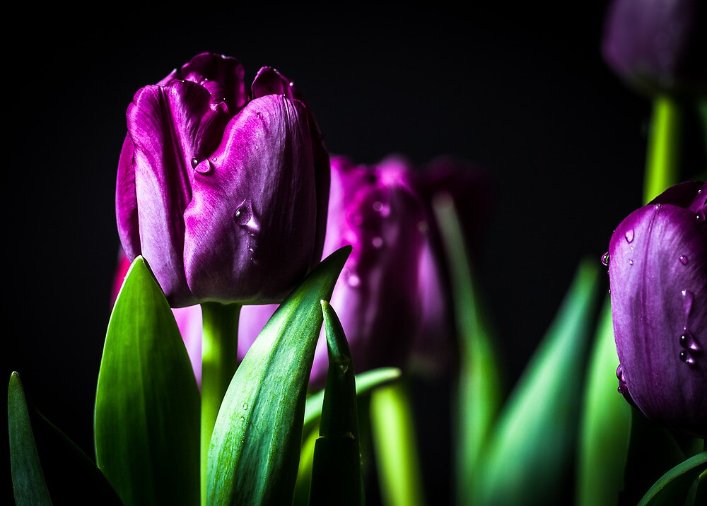 Bundle of wet Purple Tulips  by Thliii