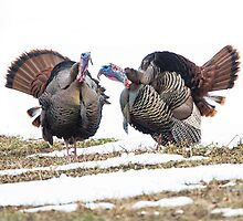 Tail of two turkeys by jamesmcdonald