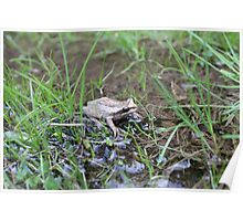 Eastern Common Froglet Poster
