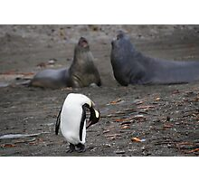 King Penguin in South Georgia Photographic Print