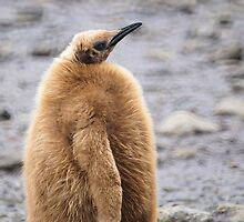 King Penguin Chick in South Georgia by Geoffrey Higges