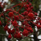 Illawarra Flame Tree I believe. by R-Summers