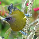 I'm Not Enjoying The Competition - Bellbird - NZ by AndreaEL