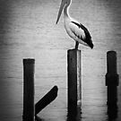 Pelican at Cleveland Point, Queensland by Karen Duffy