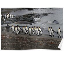 King Penguins in South Georgia Poster