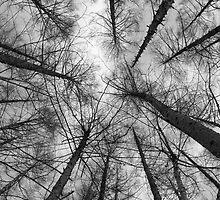 Japanese larch - black & white by Paul Malandain