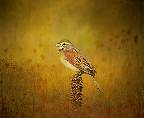 The Dickcissel by swaby