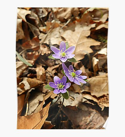 Purple Hepatica from the Leaf Litter Poster