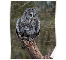 Great Grey Owl. Poster