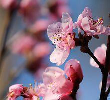 Springtime Peach Blossoms III by karineverhart