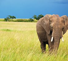 Elephant by Charuhas  Images