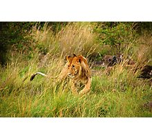 Lion in Masai Mara - Kenya Photographic Print