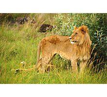 Lion In Jungle Of Masai Mara - Kenya Photographic Print