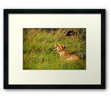 Lion  - Masai Mara Framed Print
