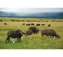 African Buffalo Photographic Print